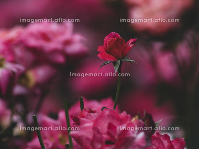 梅雨空の赤い薔薇 5月の販売画像
