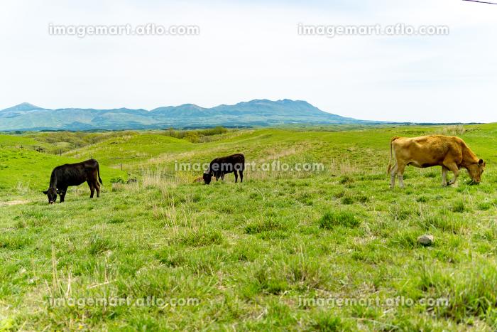 阿蘇の大自然の中に放牧され育つ牛の販売画像