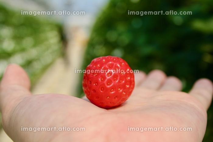苺,いちご,手,イチゴ,strawberry,手,handの販売画像