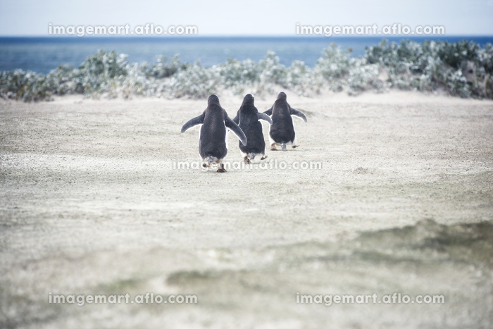 Gentoo penguins going for a swim at Volunteer Point, Falkland Islands