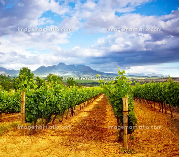 夏 新鮮 ブドウ畑の販売画像