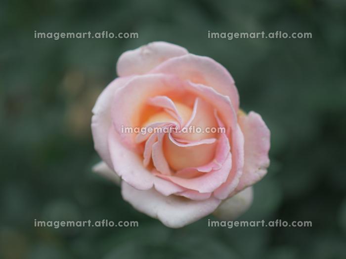 薄いピンク色のバラの花の販売画像