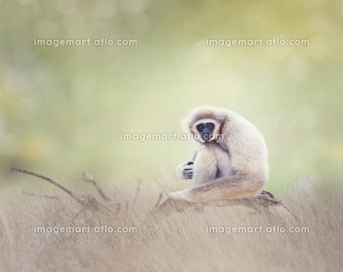 White-handed gibbonの販売画像