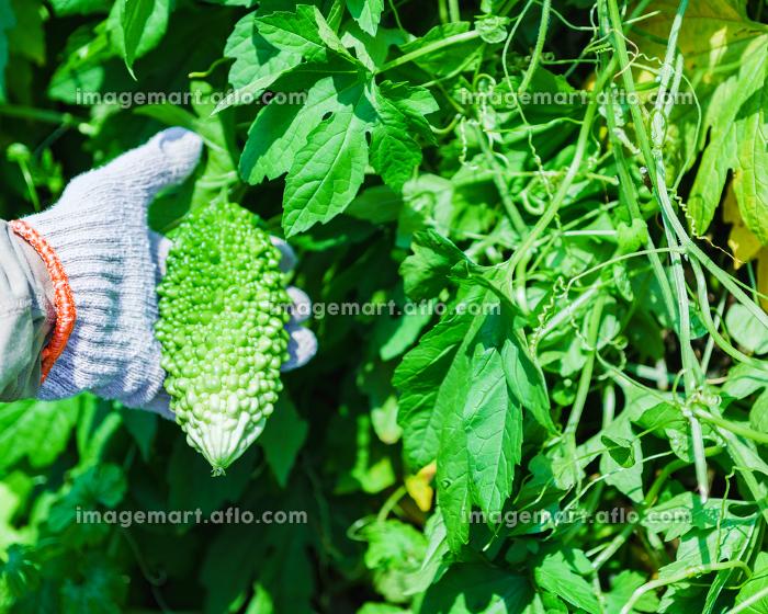 収穫期の国産のゴーヤ【夏イメージ】の販売画像