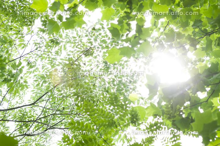複数の葉と日差しの販売画像