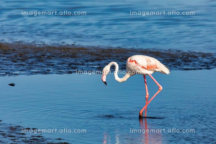 Rosy Flamingo colony in Walvis Bay Namibiaの販売画像