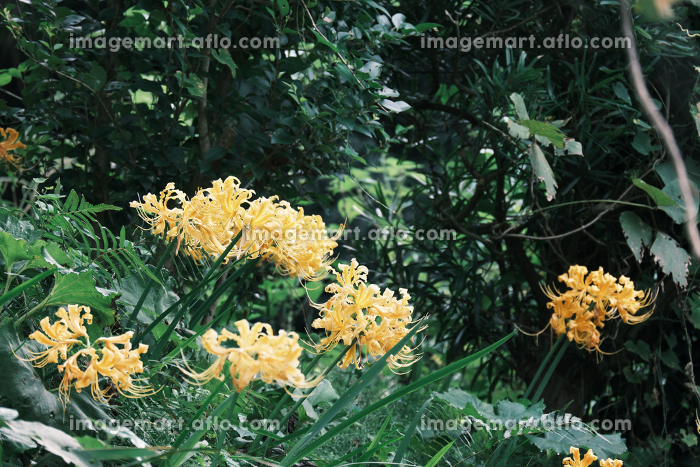 自然に生えた美しい黄色の彼岸花の販売画像