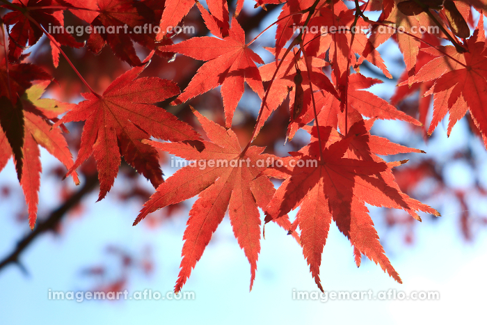 赤く色づいたカエデの木 6の販売画像