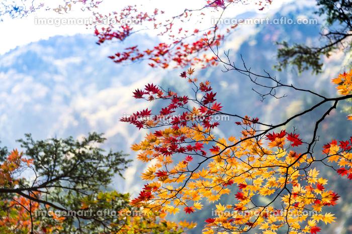 上高地遊歩道の和風紅葉の販売画像