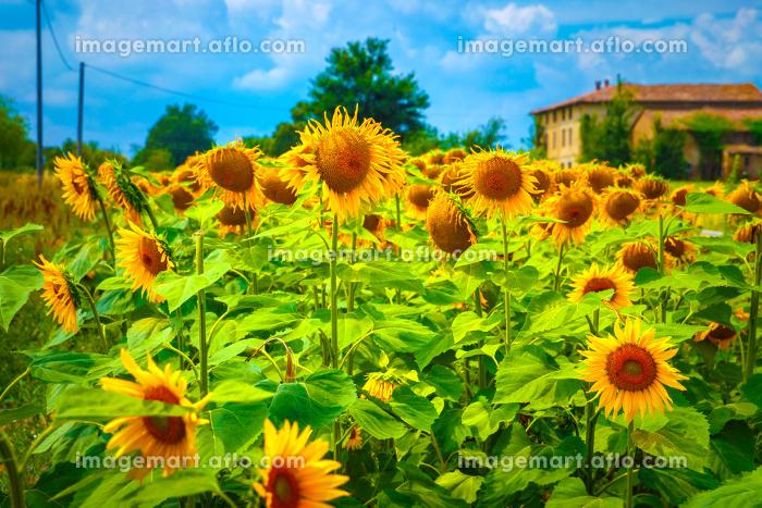 Sunflower fieldの販売画像