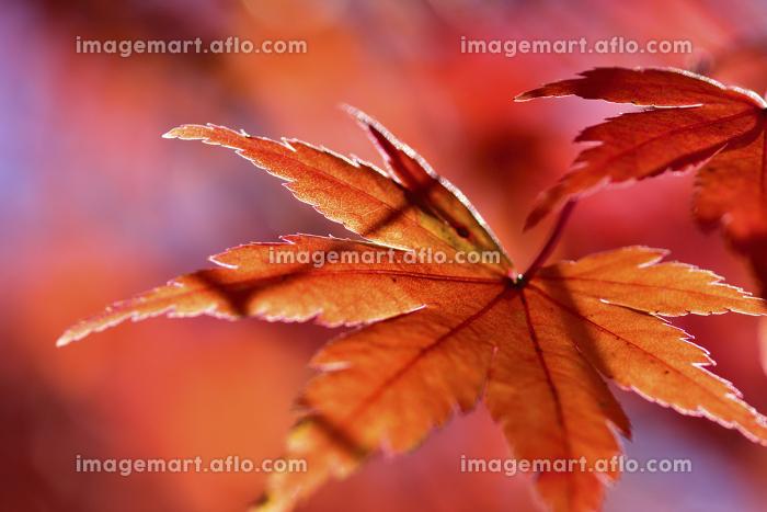 紅葉の葉の販売画像