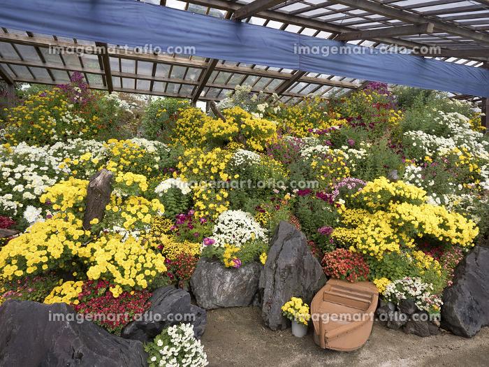 菊まつり 盆庭の販売画像
