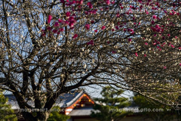 国営平城宮跡歴史公園東院南門 紅白梅の販売画像
