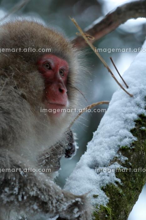 見つめるお猿の販売画像