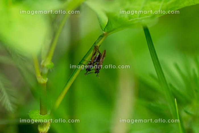 葉っぱに止まり交尾をしているコバエの販売画像