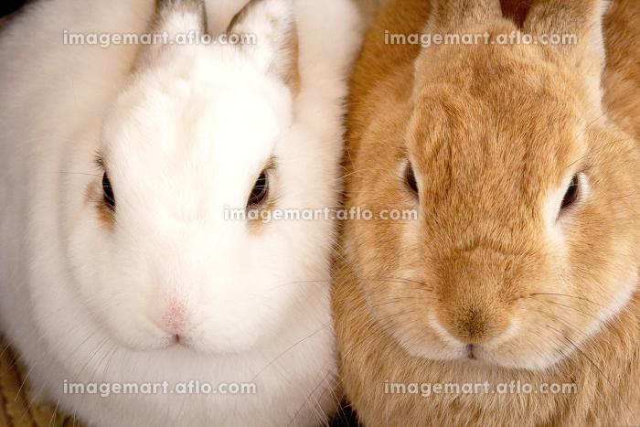 ぴったりと寄り添う二匹二羽のもふもふとした白と茶色のウサギ兎のクローズアップ写真の販売画像