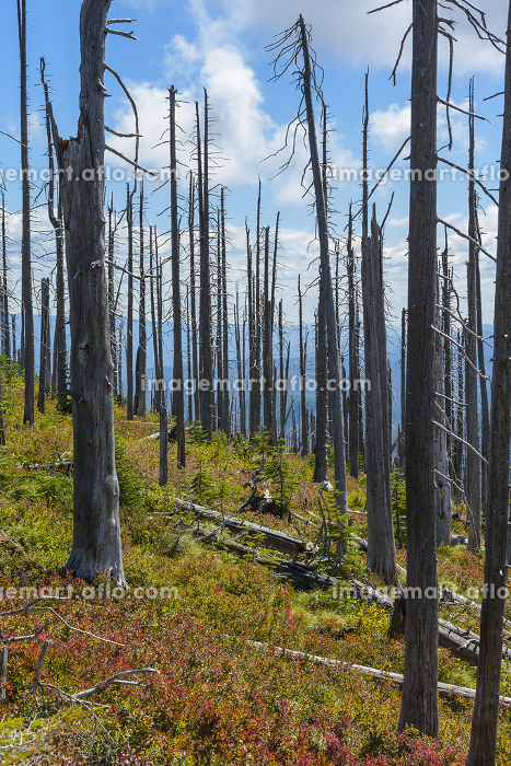 Dead Burned Tree Standing Among New Seedlingsの販売画像