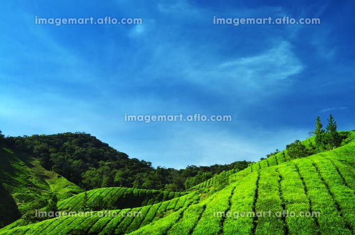 アジア お茶 葉の販売画像