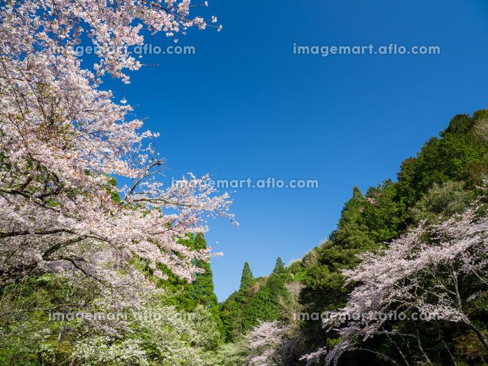 満開の桜と青空広がる里山の風景 3月の販売画像