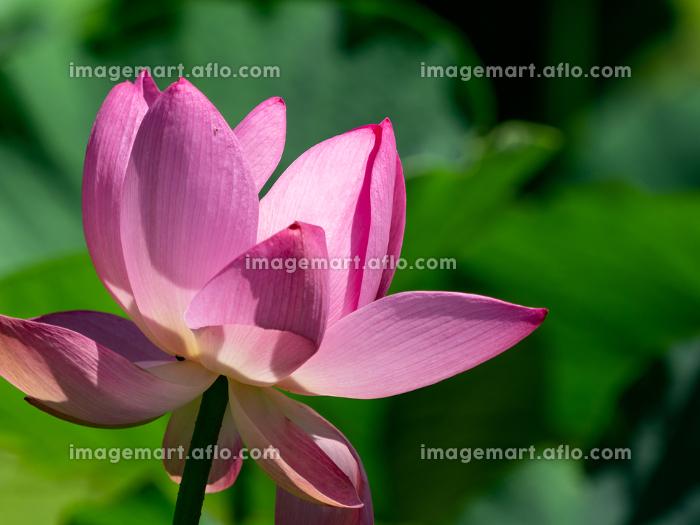 ピンク色の花が咲く古代蓮 7月の販売画像