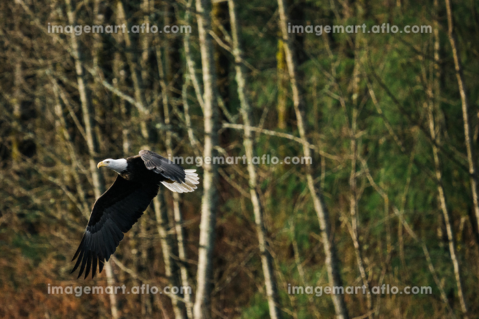 View from below of a bald eagle flying through a forestの販売画像