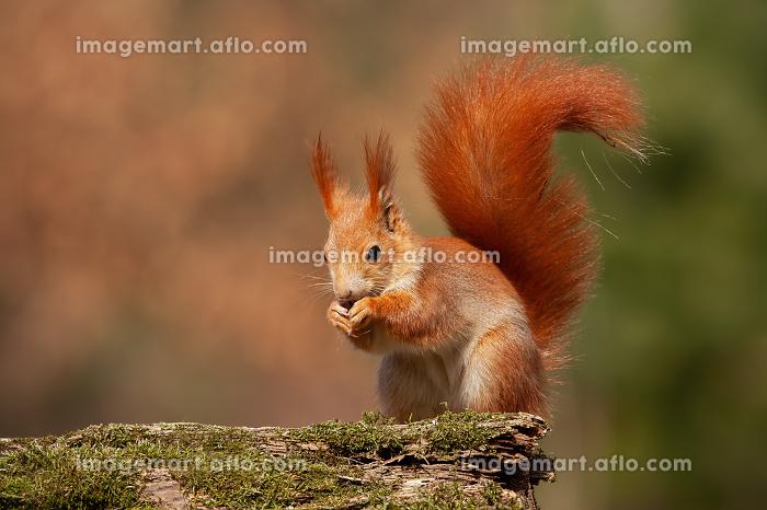 Eurasian red squirrel, sciurus vulgaris, in autumn forest in warm light.の販売画像