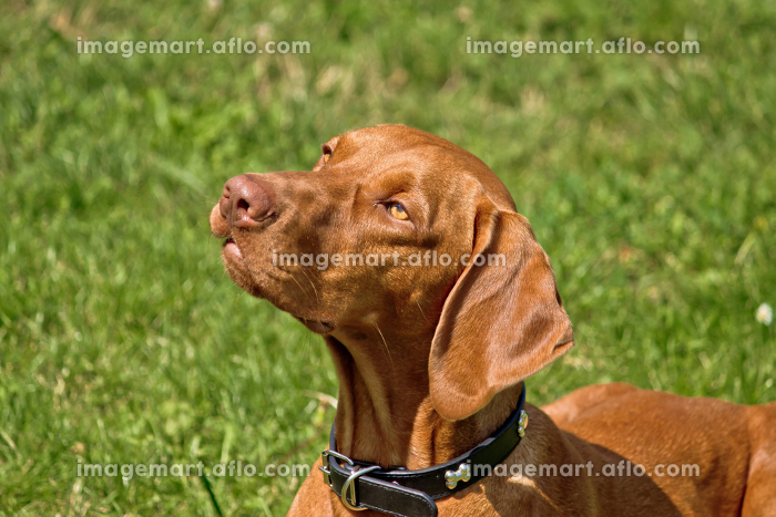 Hungarian viszla posing - Hungarian pointer hunting dog III