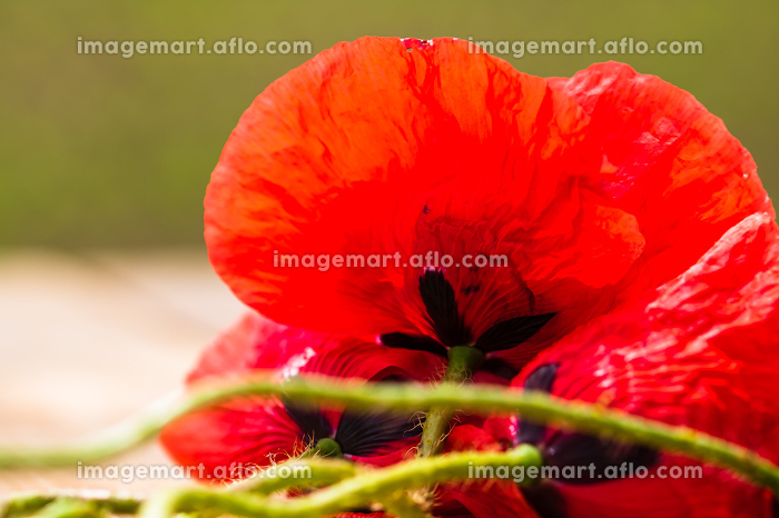 Close up of red wild poppy flowers in the sunlight with selective focus on blurred background. , Romania, Dâmbovița County, Răzvadの販売画像
