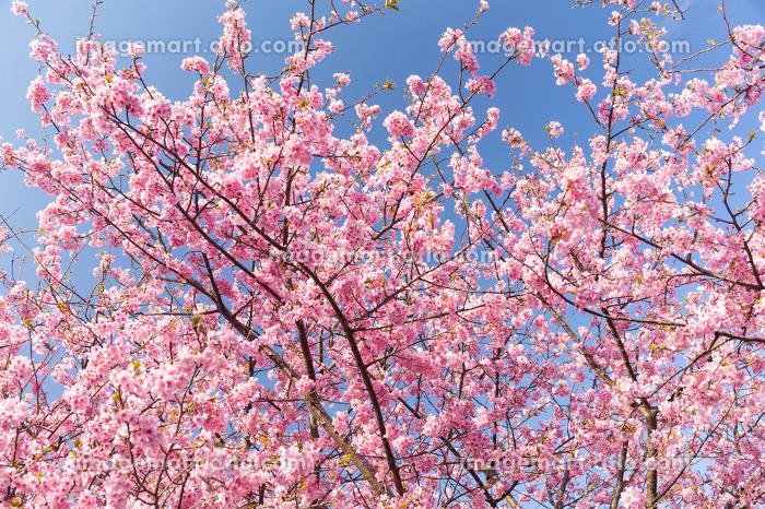 Sakura under blue sky
