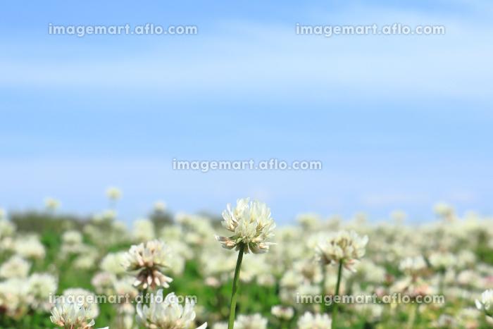 青空とシロツメクサ 3の販売画像