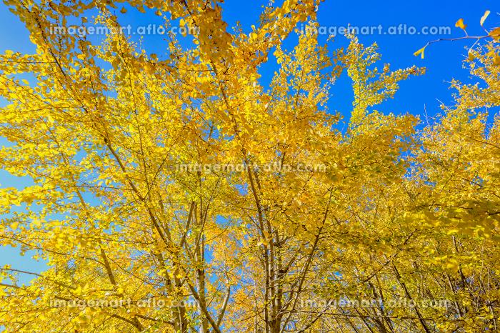 黄金色の太原イチョウ並木【福岡県】の販売画像