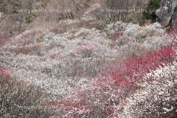 春の観光地・神奈川県湯河原梅林の販売画像
