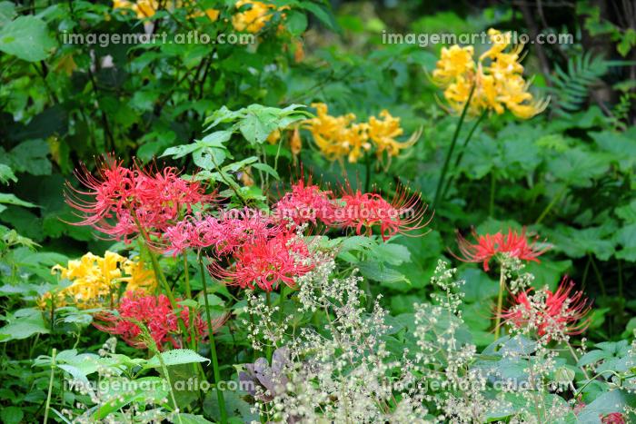 野原に咲いた自然の美しい彼岸花の販売画像