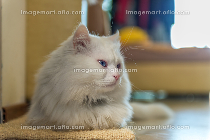 White cat relaxing at home., Teteven, Lovec, Bulgariaの販売画像