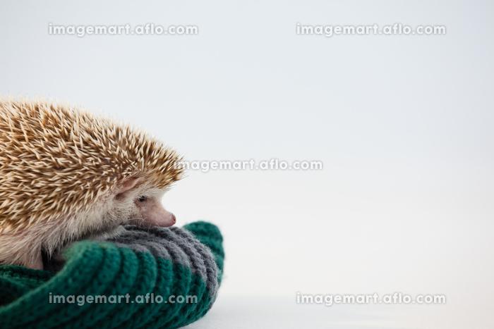 Close-up of porcupine on woolen clothの販売画像