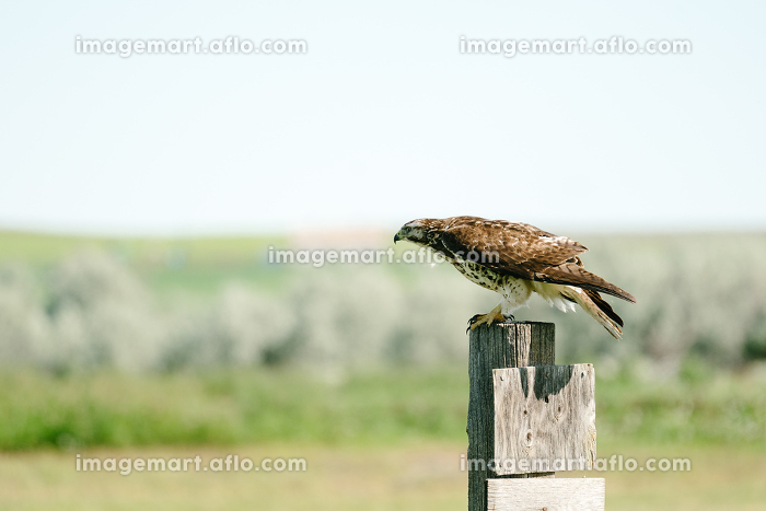 Side view of a Red-Tailed Hawk sitting on a post in a field, Malta, MT, United States