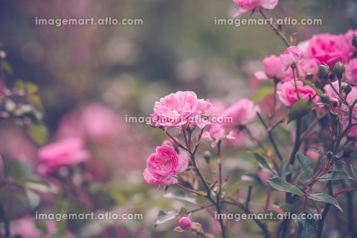 Garden with romantic pink roses in the summer