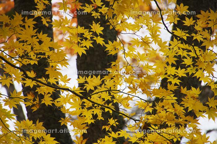 紅葉した葉と樹木の販売画像