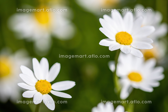 daisies flower for the preparation of the infusion of chamomileの販売画像