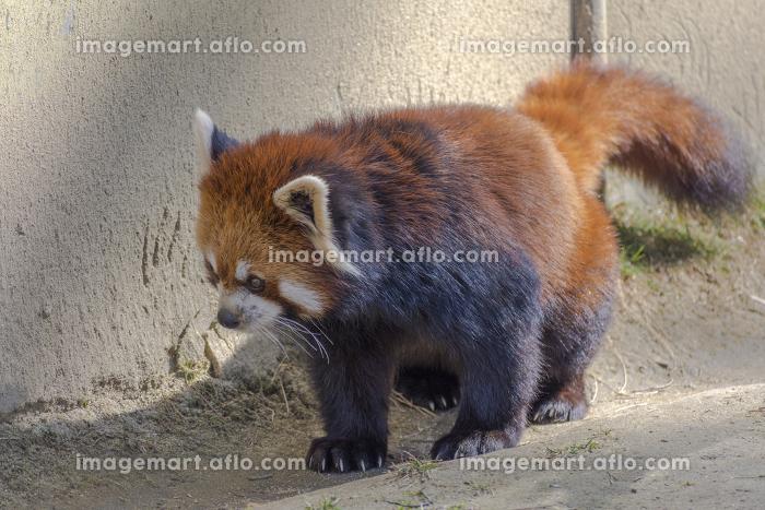 仙台の八木山動物園のレッサーパンダの販売画像