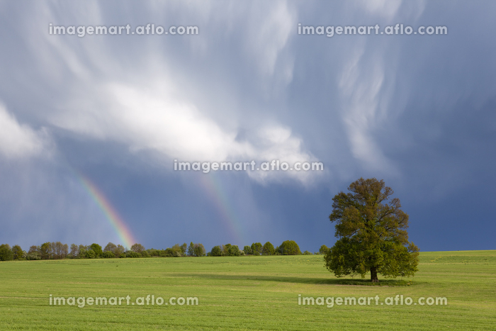 single tree in the field and a thundercloud with rainbow in the hoodの販売画像
