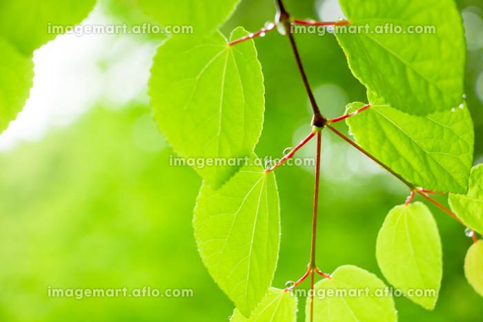 新緑と水滴の販売画像