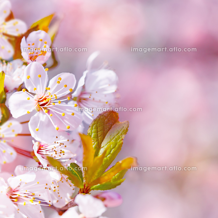 Beautiful apple tree bloomingの販売画像