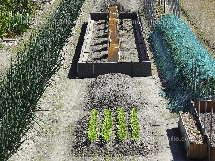 野菜の栽培の販売画像