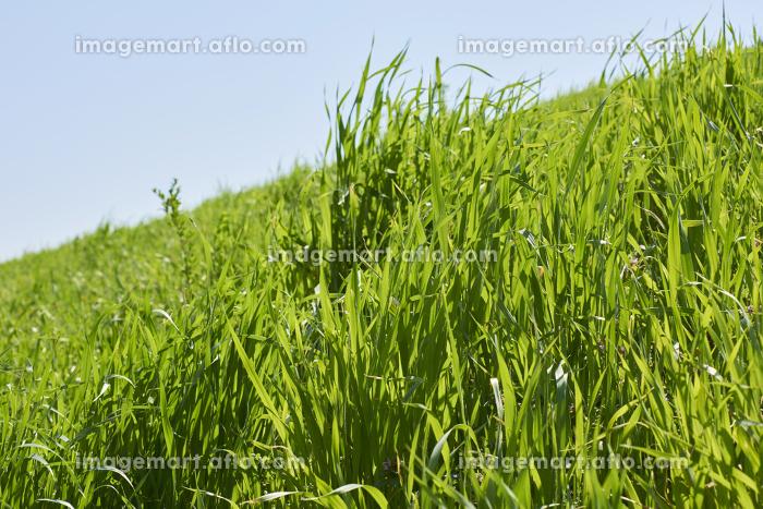 土手を覆う緑の草むらの販売画像
