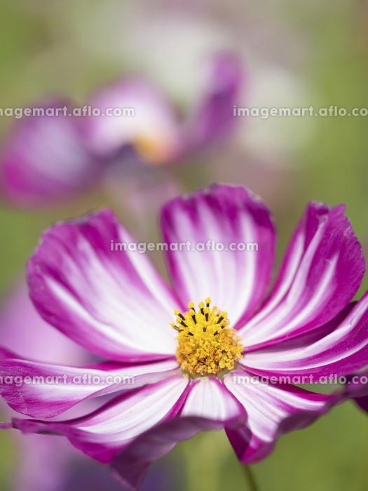 コスモスの花の販売画像