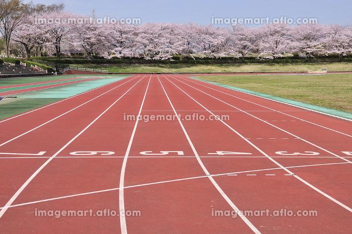運動場の桜