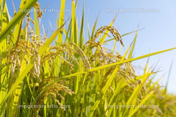 稲穂と青い空の販売画像