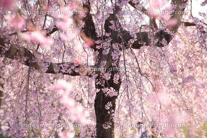 枝垂桜のカーテンの販売画像