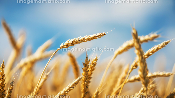 Close up of golden wheat ears over blue sky at sunny day.の販売画像